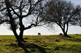 Sheep and trees