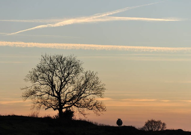 Lone sheep at sunset
