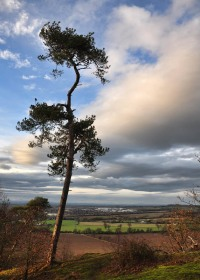 Scots pine and Salop