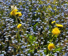Forget-me-nots and dandelions