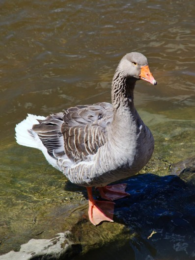 Goose - by the Bylet