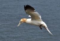 Gannet 2