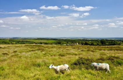 Catherton sheep