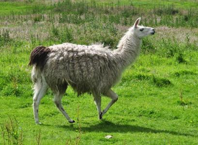 Nipstone Llama