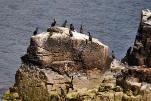 A dozen cormorants