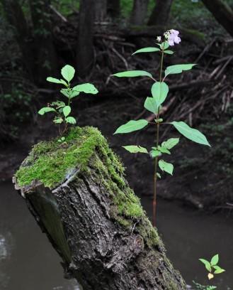 Balsam beside Borle Brook