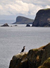 Cormorant on Stac Lachlainn