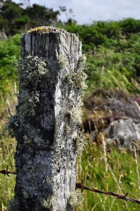 Lichen on the fence