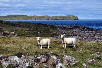 Sheep and Eilean Trodday
