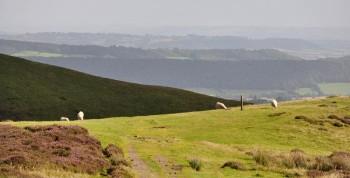 Mynd sheep