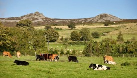Contented cows and Stiperstones