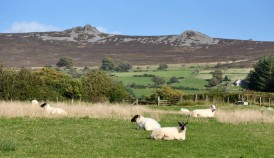 Contented sheep and Stiperstones