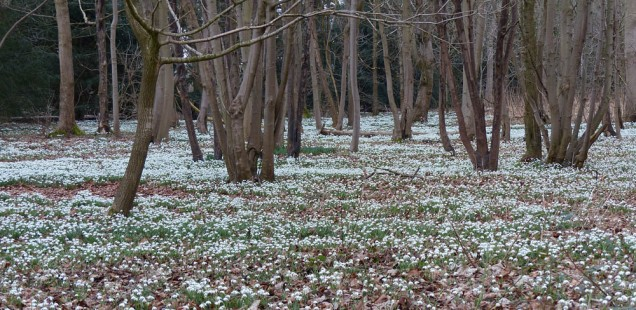Snowdrop drifts