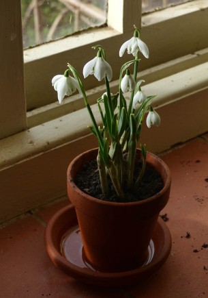 Snowdrops on the windowsill