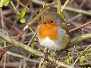 Aysgarth robin