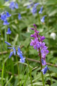 Bluebells and orchid