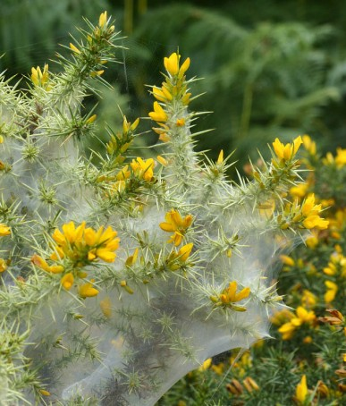 Cocooned gorse