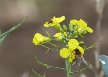 Bee on the brassica