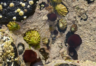 Limpets and anemones