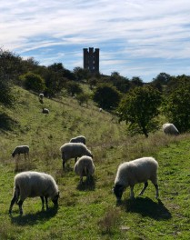 Sheep and tower