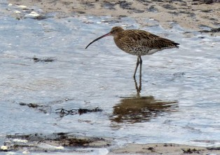 Anstruther Curlew