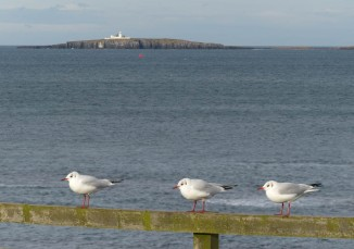 Seahouses gulls