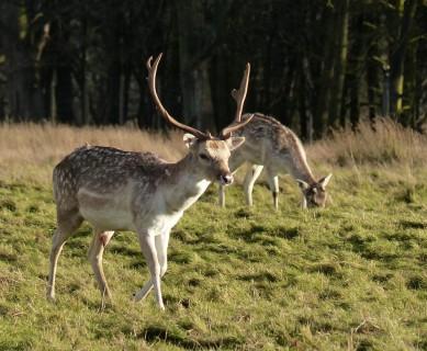 Attingham Deer 1