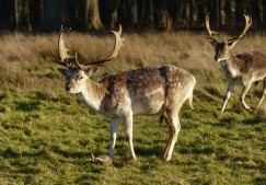 Attingham Deer 3