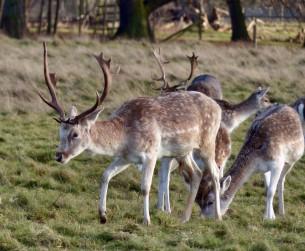 Attingham Deer 4