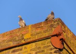 Pigeons on the chimney