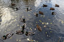 Randomised ducks