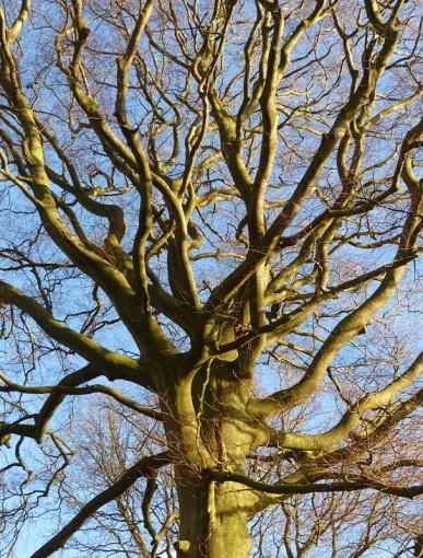 Tree-top tangle