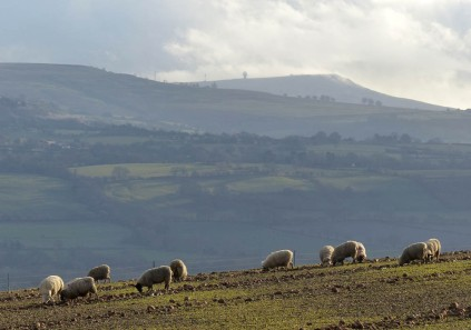 Sheep and Titterstone Clee