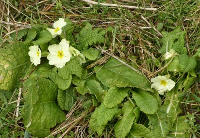 Primroses in the lane
