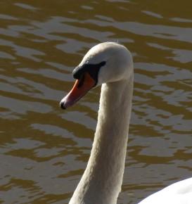 Severn Swan