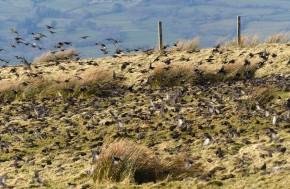 Startled starlings