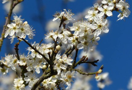 Early blossom