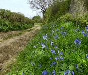 Bluebells beside the lane