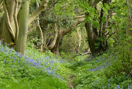 Bluebells in the old lane