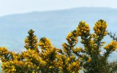 Gorse and Brown Clee