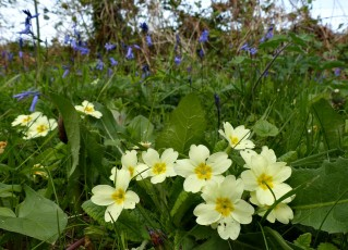 Primrose and bluebells