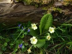 Violet and primrose