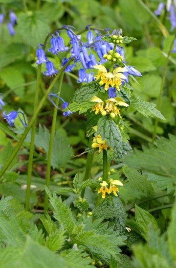 Yellow dead nettle and bluebells