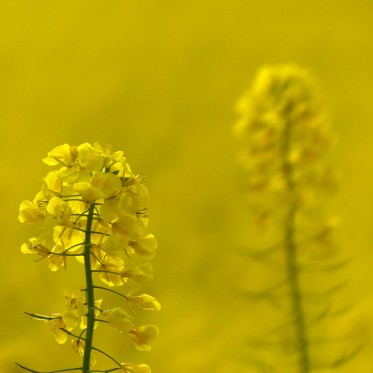 Yellow in the fields