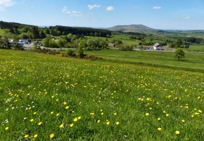 Bog buttercup meadow