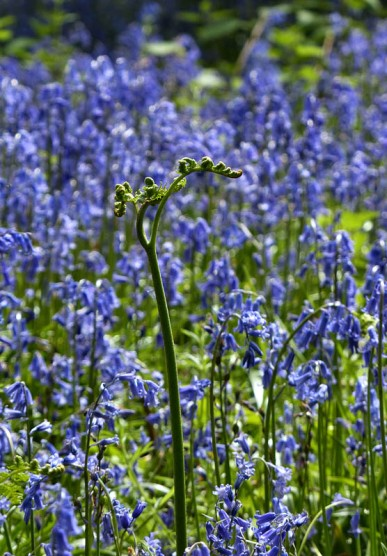 Bracken and bluebells