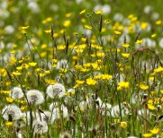 Buttercups and dandelions