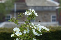 Rose, bee and Dower House