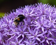 Allium and bee