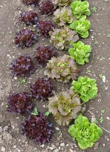 Lettuce play
